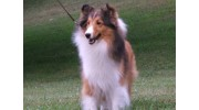 My Lord's Shelties
